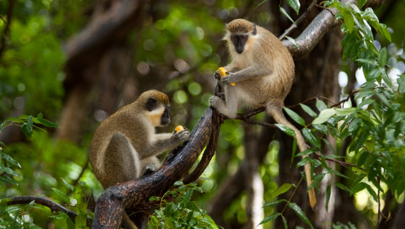 O Que Fazer em Barbados: Barbados Wildlife Reserve