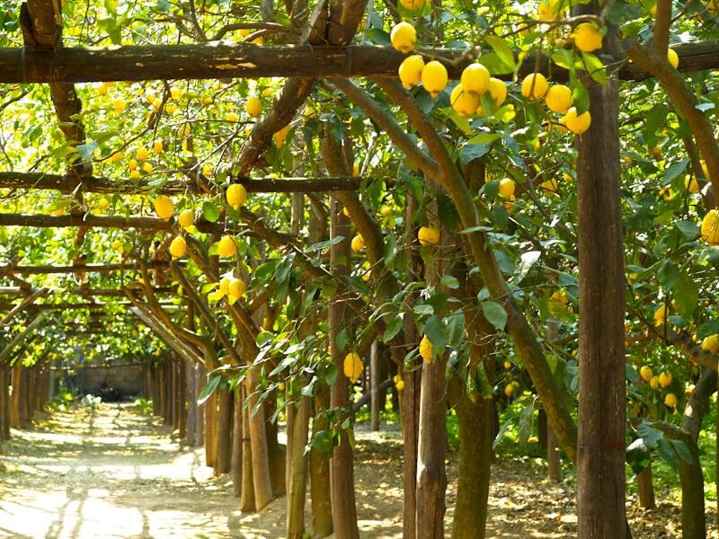 O que fazer em Capri: Limão Siciliano