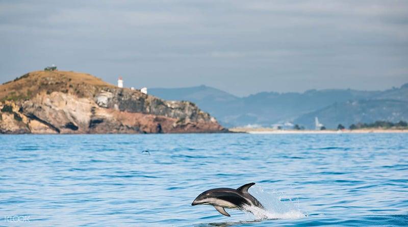 O que fazer em Nelson: Dolphin Swim Australia